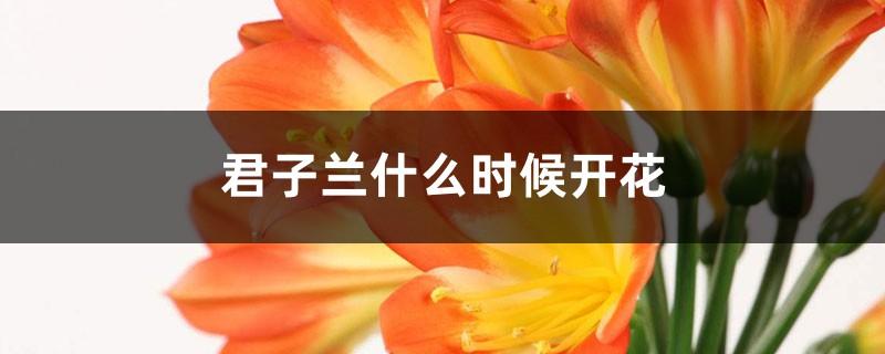 君子兰什么时候开花