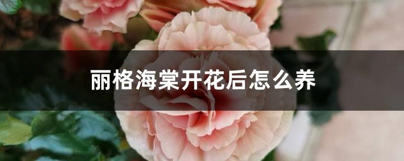 丽格海棠开花后怎么养