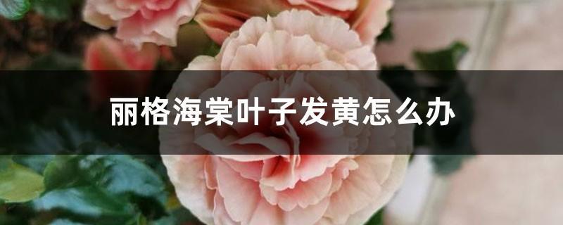 丽格海棠叶子发黄怎么办