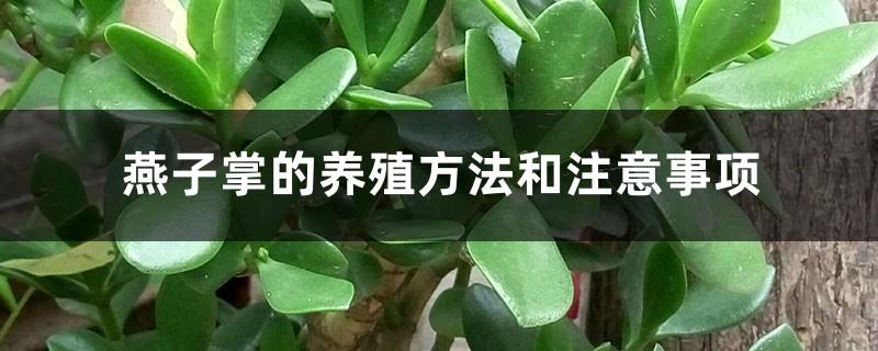 燕子掌的养殖方法和注意事项
