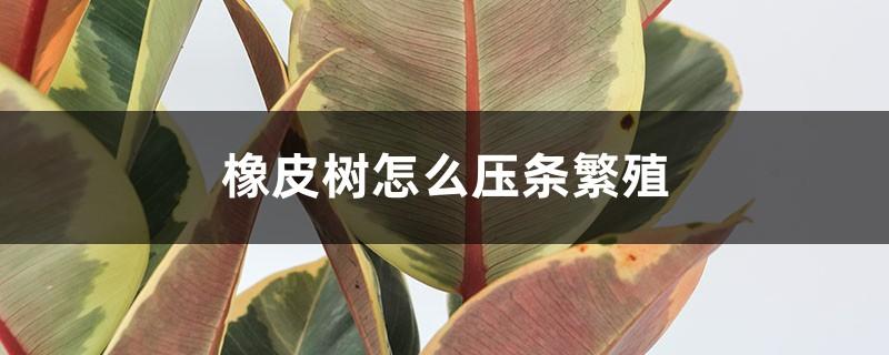 橡皮树怎么压条繁殖