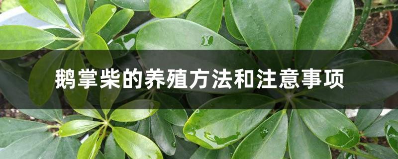 鹅掌柴的养殖方法和注意事项