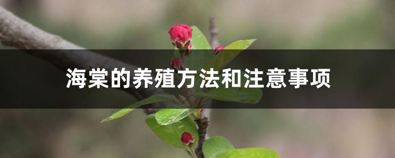 海棠的养殖方法和注意事项