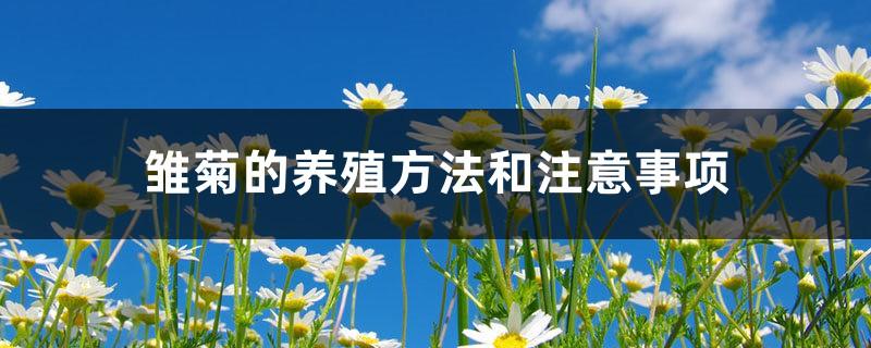 雏菊的养殖方法和注意事项