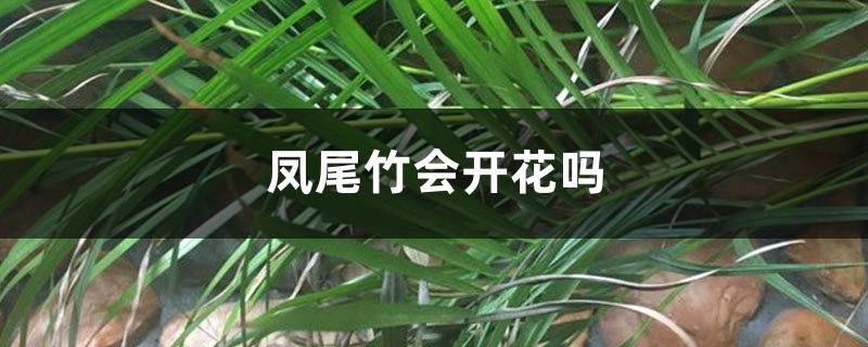 凤尾竹会开花吗