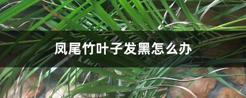 凤尾竹叶子发黑怎么办