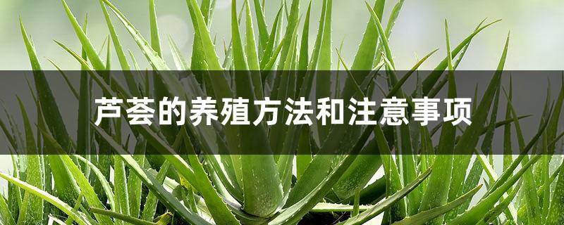 芦荟的养殖方法和注意事项
