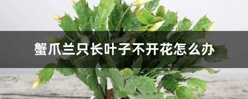 蟹爪兰只长叶子不开花怎么办
