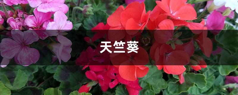 10块钱的天竺葵,花球连开2个月,阳台都挤爆了!