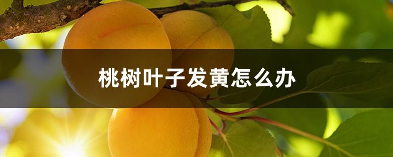 桃树叶子发黄怎么办