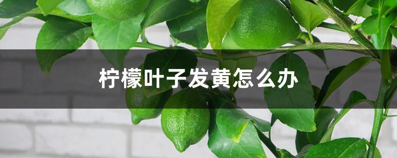 柠檬叶子发黄怎么办