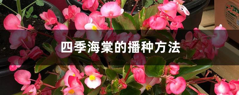 四季海棠的播种方法