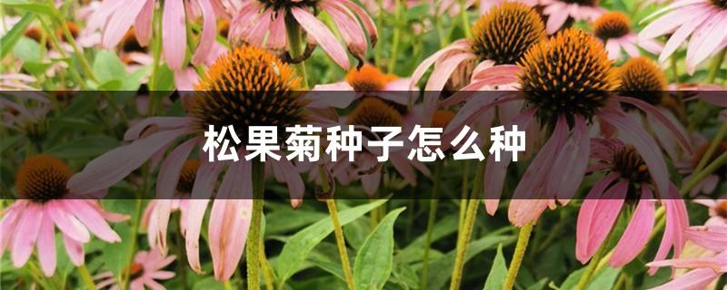 松果菊种子怎么种