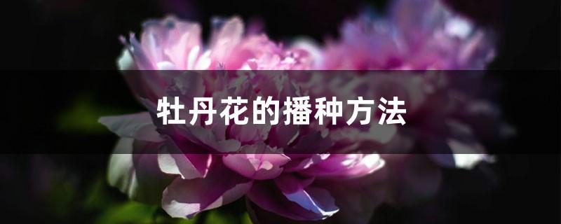 牡丹花的播种方法
