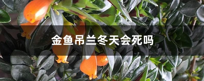 金鱼吊兰冬天会死吗