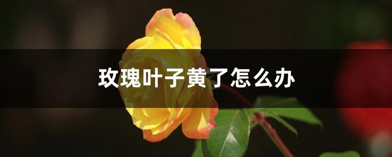 玫瑰叶子黄了怎么办