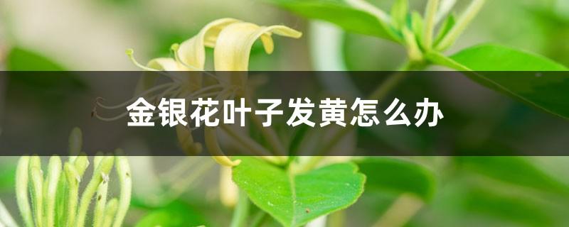金银花叶子发黄怎么办