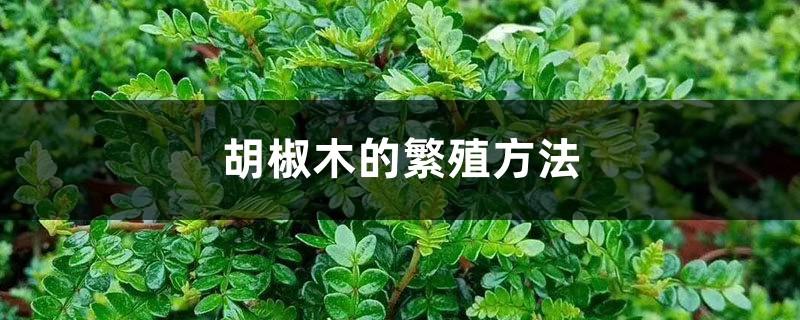 胡椒木的繁殖方法