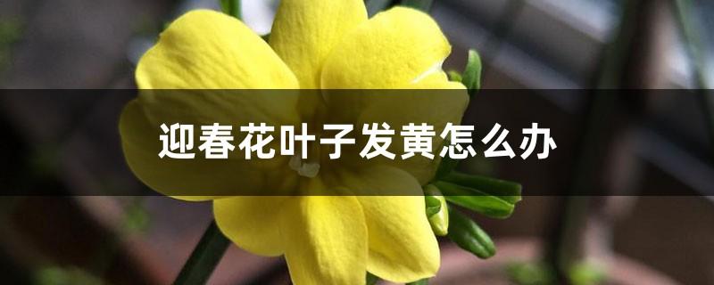 迎春花叶子发黄怎么办
