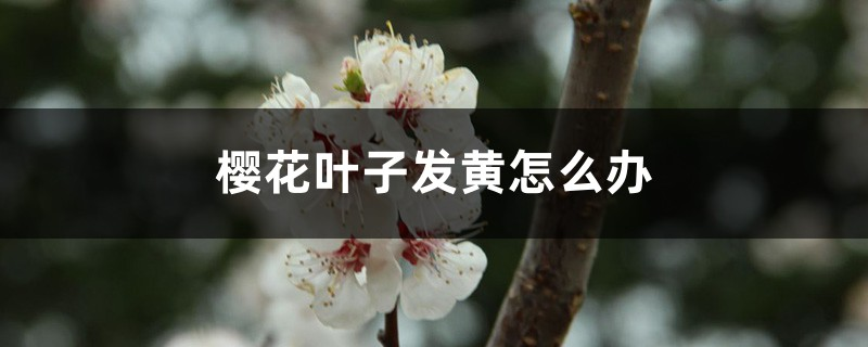 樱花叶子发黄怎么办