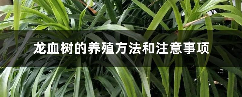 龙血树的养殖方法和注意事项