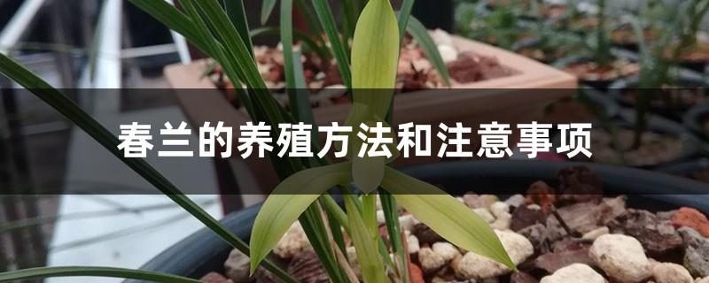 春兰的养殖方法和注意事项