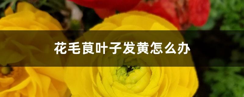 花毛茛叶子发黄怎么办