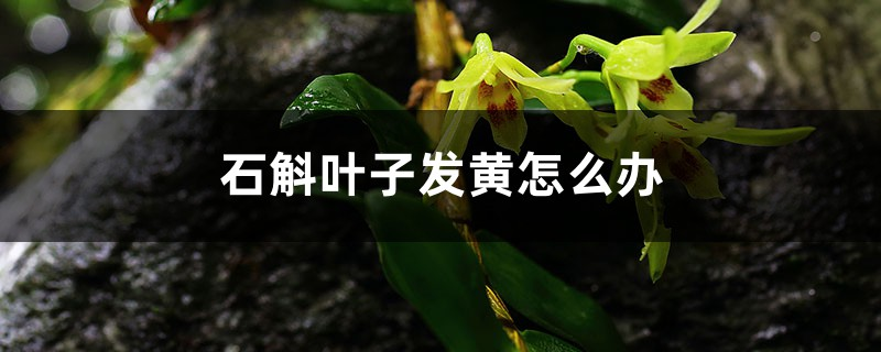 石斛叶子发黄怎么办