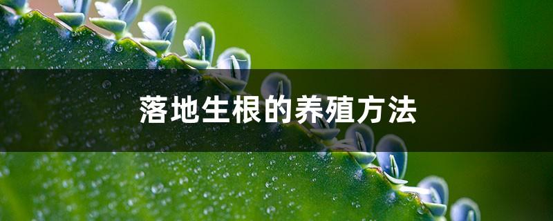 落地生根的养殖方法