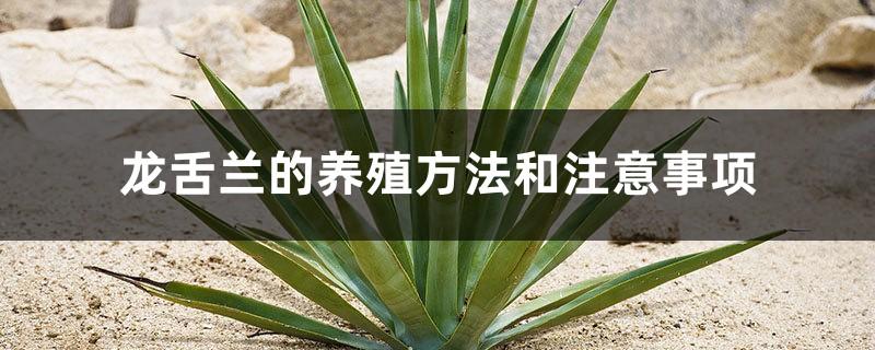 龙舌兰的养殖方法和注意事项