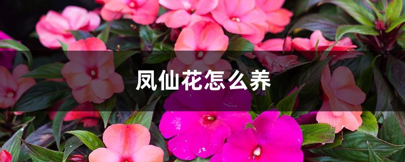 凤仙花怎么养