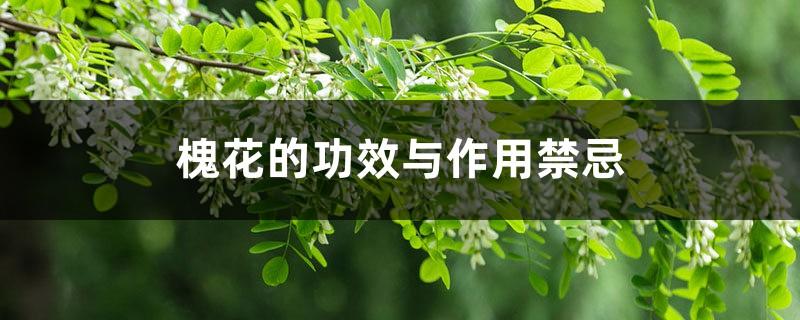 槐花的功效与作用禁忌