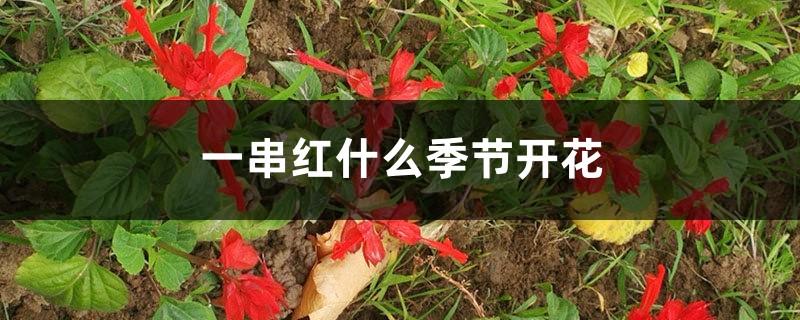 一串红什么季节开花