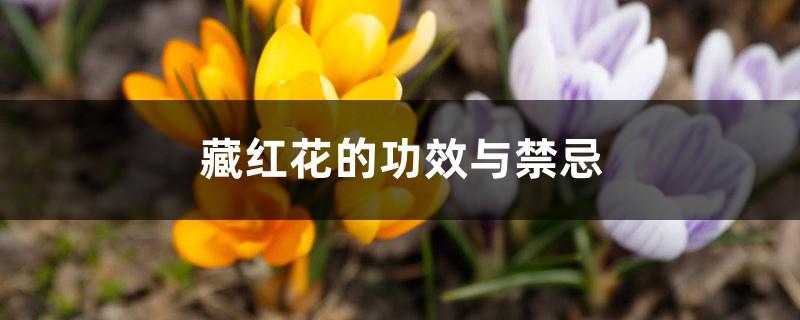 藏红花的功效与禁忌