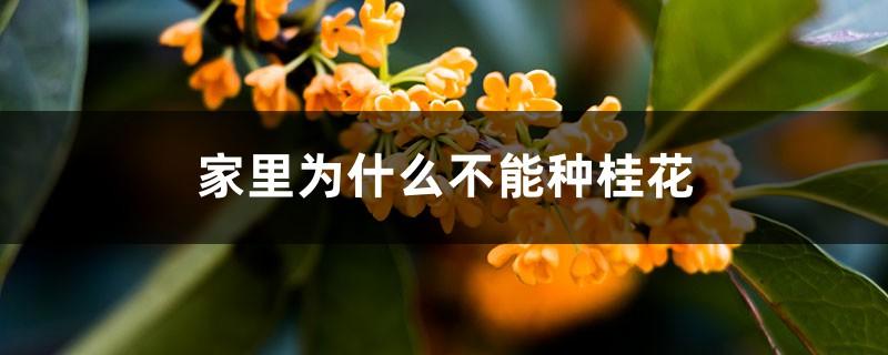 家里为什么不能种桂花