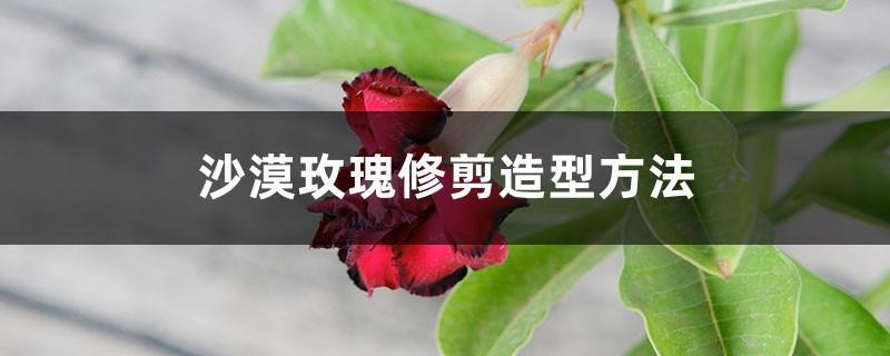 沙漠玫瑰修剪造型方法