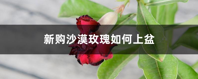 新购沙漠玫瑰如何上盆