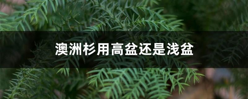 澳洲杉用高盆还是浅盆