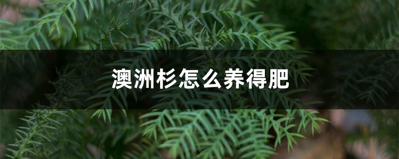澳洲杉怎么养得肥