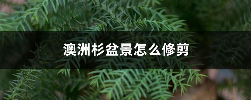澳洲杉盆景怎么修剪