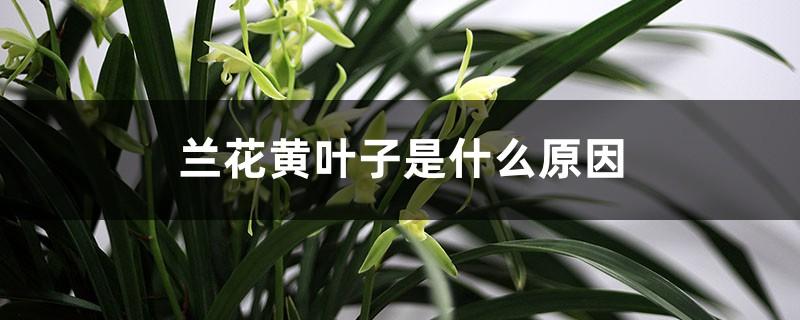 兰花黄叶子是什么原因
