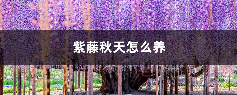 紫藤秋天怎么养