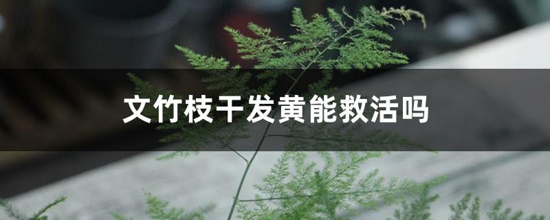文竹枝干发黄能救活吗