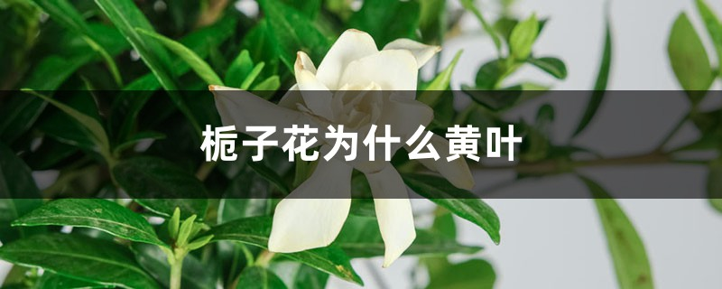 栀子花为什么黄叶:浇水、施肥、光照不当导致