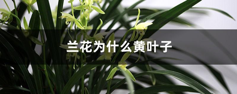兰花为什么黄叶子,变黄后怎么补救?