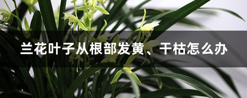 兰花叶子从根部发黄、干枯怎么办?如何补救?