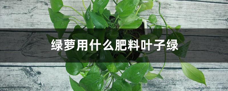 绿萝用什么肥料叶子绿,叶子不绿怎么办