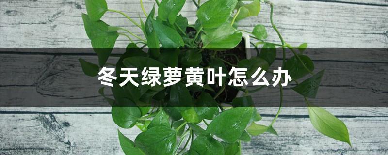 冬天绿萝黄叶不要急,用这几招轻松变绿