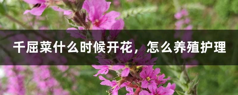 千屈菜什么时候开花,怎么养殖护理