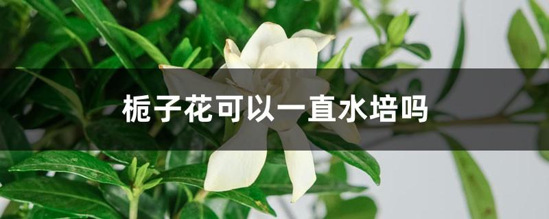 栀子花可以一直水培吗